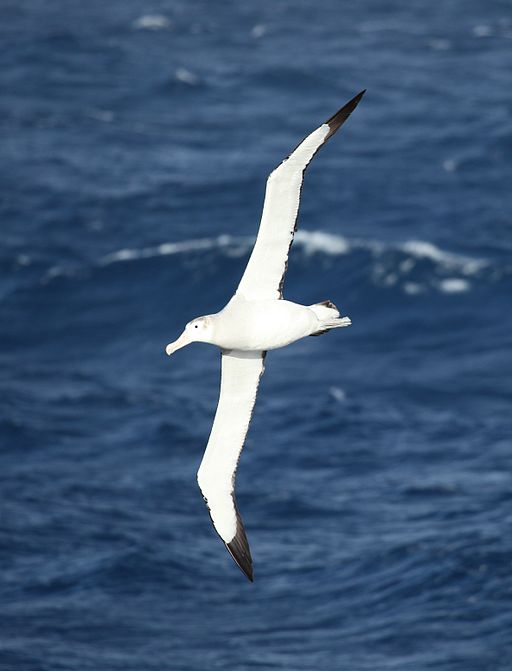 Wandering Albatross flying over the South Atlantic (5656444654)