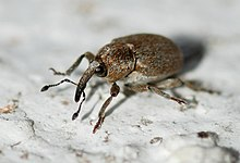 Weevil March 2010-1.jpg