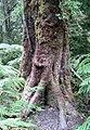 Weinmannia trichosperma-tronco.jpg