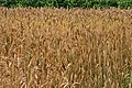 Wheat at the Eden Project.jpg