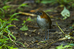 White-bellied Antpitta - San Isidro - South Ecuador S4E3747.jpg