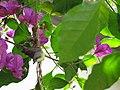 White-throated Gerygone Nesting 4.jpg