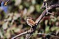 White-throated sparrow (38352362145).jpg