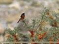 White-winged Redstart (Phoenicurus erythrogastrus) (25055124825).jpg