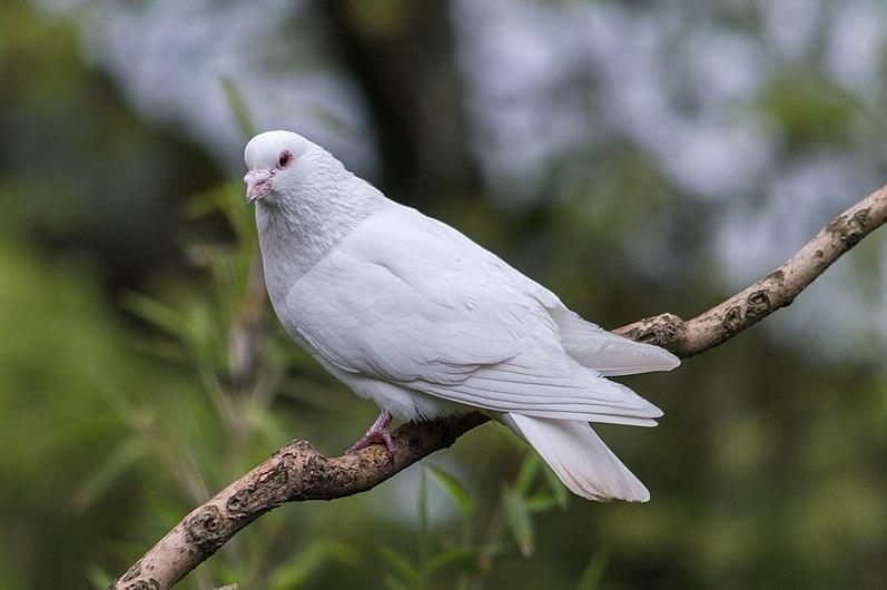 White Dove (34398970050).jpg