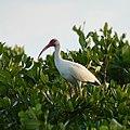 White Ibis (41273534944).jpg