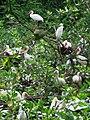 White Ibis colony in Puerto Jimenez (8043937992).jpg
