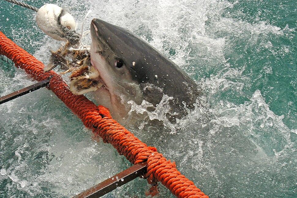 White shark1