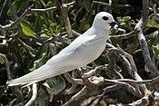 White tern with fish.jpg