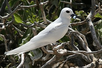 White tern - A white tern on the French Frigate Shoals