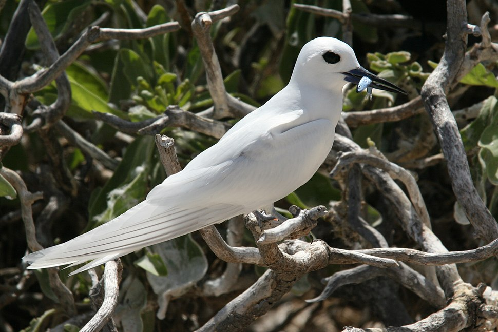 White tern with fish