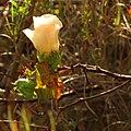 Wild Cotton - Flickr - treegrow (8).jpg