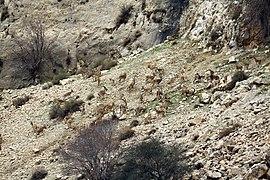 Wild Goat Herd, Zagros, Behbahan
