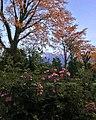 Wild roses at Dhauladhar range.jpg