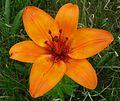 Wild species Lily. - Flickr - gailhampshire.jpg
