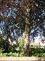Wilhelminaboom Oudewater.JPG