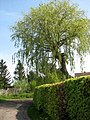 Willow tree - geograph.org.uk - 1266945.jpg