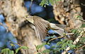 Willow warbler, Phylloscopus trochilus, at Marakele National Park, Limpopo, South Africa (16316871406).jpg