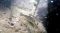 Winter-run juvenile release into Battle Creek (40657001201).png