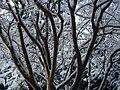 WinterInterestCrepeMyrtle02.jpg