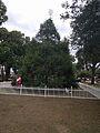 Winter Park Christmas Tree Number 1 (30769279223).jpg