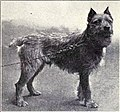 Wire Haired Dutch Terrier from 1915.JPG