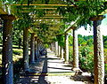 Wisteria covered pergola.jpg