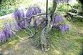 Wisteria floribunda 7zz.jpg