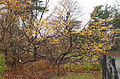 Witch hazel tree Central Park winter.jpg