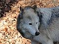 Wolf, Canis lupus 07.JPG