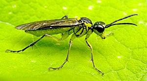 Sawfly - Tenthredo mesomela