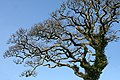 Yealmpton, oak tree in Gipsy Lane - geograph.org.uk - 687007.jpg
