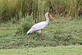 Yellow-billed stork in Chobe National Park 01.jpg