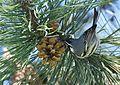 Yellow-throated Warbler (26348512616).jpg