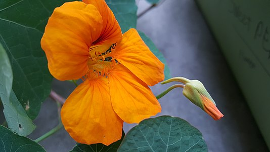 Tropaeolum majus flower and button.