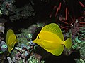 Yellow Tangs (109517014).jpg