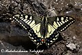 Yellow swallowtail Theerthan valley 2011 04 23 1885 1 (6431296597).jpg