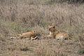 Young lions, Serengeti.jpg