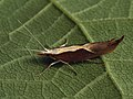 Ypsolopha dentella - Honeysuckle moth - Серпокрылая моль зубчатая (27499179148).jpg