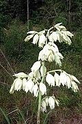 Yucca cernua fh 1185.31 TX BB.JPG