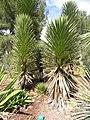 Yucca decipiens - Jardin d'oiseaux tropicaux - DSC04992.JPG