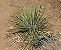Yucca glauca (soapweed yucca) (Red Canyon overlook, Colorado National Monument, Colorado, USA) 3 (23987760345).jpg