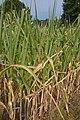 Zea mays drought (03).jpg