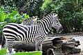 Zebra Singapore zoo 03.jpg