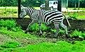 Zebra in Parc Safari - panoramio.jpg