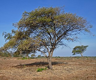 Baluran National Park - Ziziphus mauritiana trees in the park