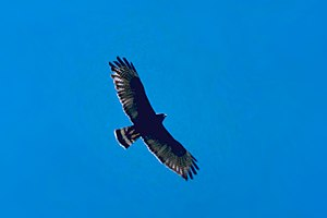 Zone-tailed hawk - Image: Zonetailed Hawk 2