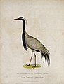 Zoological Society of London; a Numidian crane. Coloured etc Wellcome V0023121.jpg