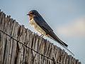 Zwaluw bij de vogelkijkhut in het Lauwersmeergebied.jpg
