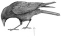 Zwarte kraai Corvus corone Jos Zwarts 2.tif
